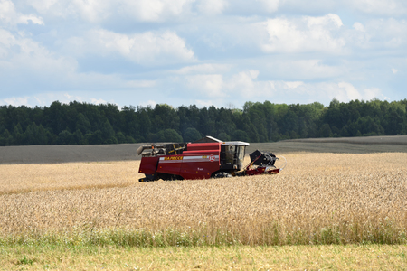 continuously: NARO-FOMINSK, RUSSIA - JUL 31, 2016: Harvesting of wheat. Combine Harvester in agricultural fields.Russia ranks first in the export of wheat in the world is continuously increasing the grain production