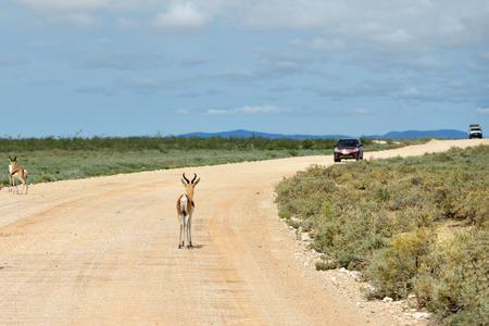 springbok: Springbok antelopes standing on a dirt road against a car in Etosha national park in Namibia; Antidorcas Marsupialis Stock Photo