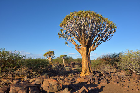 dichotoma: Magical Quiver Tree Forest outside of Keetmanshoop, Namibia at sunset. Warm evening light