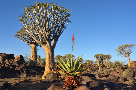 dichotoma: Agave plant in the Quiver Tree Forest in Namibia at sunset. Warm evening light
