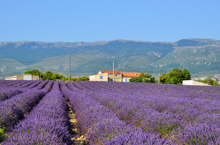 Stunning landscape with lavender field near Alps foothills and farmhouse on background at sunset time, Provence, France, Valensole Stock Photo