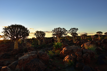 dichotoma: Sunset in the Quiver Tree forest outside of Keetmanshoop, Namibia. Warm evening light