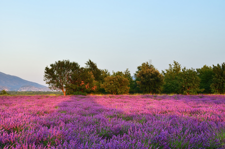 plateau of flowers: Stunning landscape with lavender field at evening, Alps mountain in background. Plateau of Valensole, Provence, France