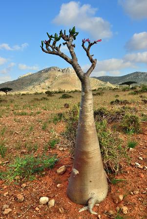 Endemic plant flowering bottle tree adenium obesum on the island Socotra at sunset, Diksam Plateau, Yemen