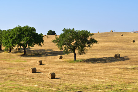 portugal agriculture: Stunning landscape with a harvested wheat field and rolled straw stacks between cork oak trees at sunset. Evora, Portugal