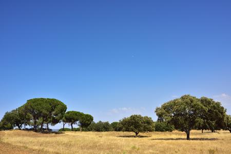 portugal agriculture: Cork oak grove (Quercus sube), Evora, Alentejo, Portugal Stock Photo