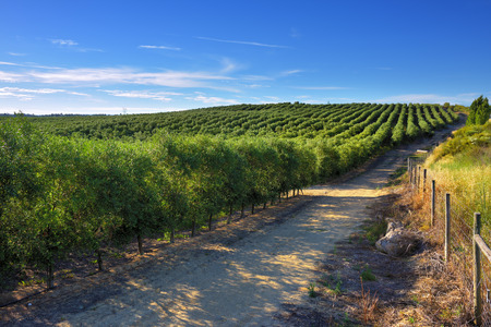 Stunning landscape with olive grove in Alentejo nearby Evora at sunset, Portugal Imagens - 81706318
