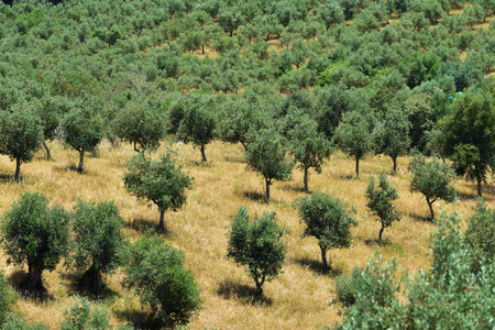 portugal agriculture: Stunning landscape with olive grove in Alentejo nearby Evora, Portugal Stock Photo
