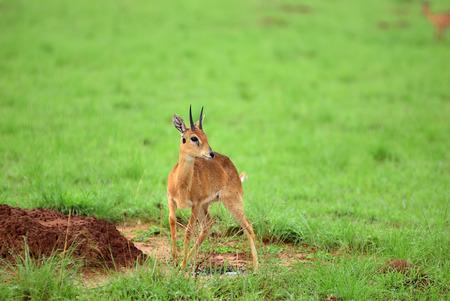 Antelope dik-dik in the Murchison Falls national park shown at sunrise, Uganda