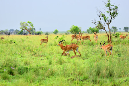 Antelopes reedbuck in the Murchison Falls national park at early morning time, Uganda, Africa Stock Photo