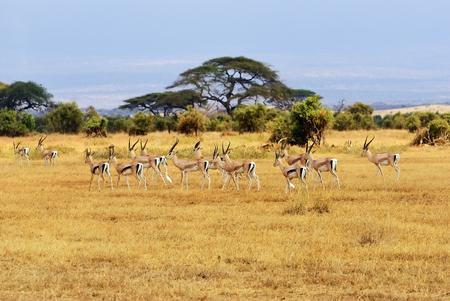 African landscape with gazelles in Amboseli national park, Kenya