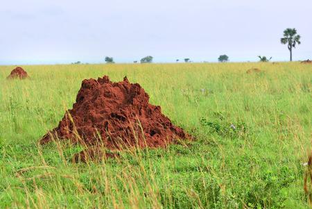 termite: Beautiful landscape with big red termite mound in Murchison Falls national park at sunrise, Uganda, Africa