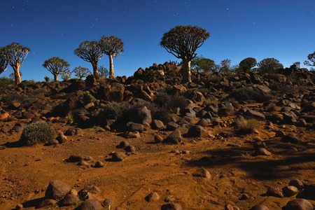 dichotoma: Night shot of the Mystical Quiver Tree Forest outside of Keetmanshoop, Namibia under moon light at the stars night sky