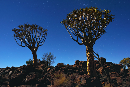 Night shot of the Mystical Quiver Tree Forest outside of Keetmanshoop, Namibia under moon light at the stars night sky