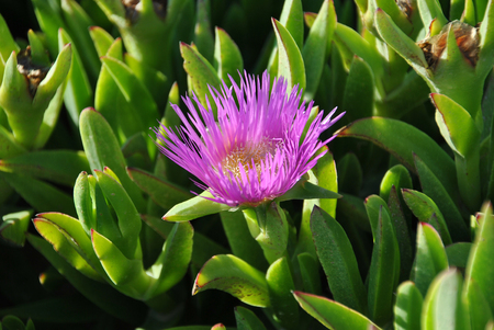 Carpobrotus edulis (pink colored flower) is a ground-creeping plant with succulent leaves in the genus Carpobrotus, native to South Africa. Hottentot-fig, ice plant, highway ice plant pigface. Plant growing on the Atlantic ocean coast of Namibia in South Africa