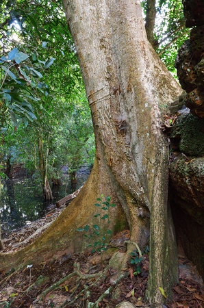 Dense jungles near Angkor Wat Complex, Siem Reap, Cambodia. Giant banyan tree growing on the ruins of the hindu temple on foreground