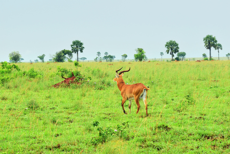 Antelope reedbuck in the Murchison Falls national park at early morning time, Uganda, Africa Stock Photo