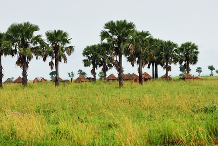African huts and palm trees in the village in savannah at sunrise, Uganda. Africa
