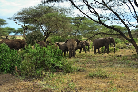 Herd of elephants feeding in a bush, Lake Manyara national park, Tanzania, Africa