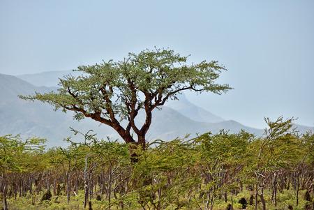 Frankincense Trees, Boswellia sacra, olibanum tree, Homhil Plateau, Socotra Island, Yemen