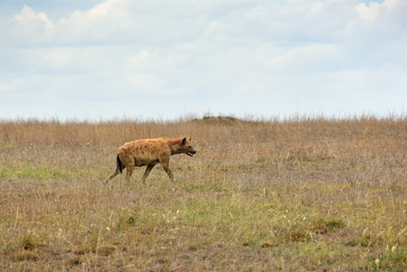 Spotted hyena in the Serengeti national park at dawn, Tanzania, Africa Stock Photo