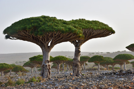 Dragon trees at Dixam plateau Socotra Island shown at sunset, Yemen, Africa Imagens - 96301325