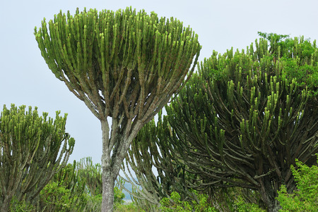 Euphorbia ingens, Candelabra Tree, African Milk Tree, Candelabra Cactus, African Milk Bush. Lake Edward coastline in Queen Elizabeth National Park at dawn, Uganda, Africa Stock Photo