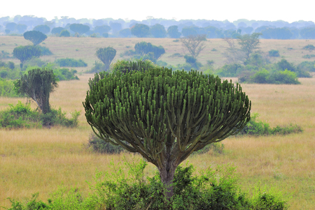 Euphorbia ingens, Candelabra Tree, African Milk Tree, Candelabra Cactus, African Milk Bush. Queen Elizabeth National Park at dawn, Uganda, Africa