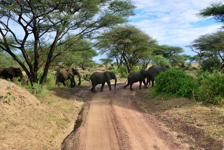 African elephants (Loxodonta Africana) crossing a dirt road in the Lake Manyara National Park, Tanzania, Africa
