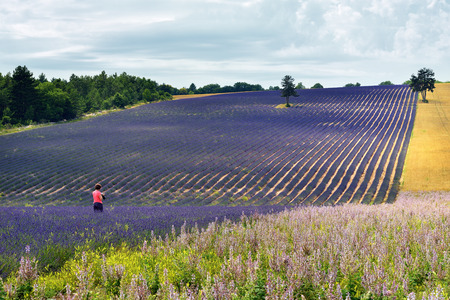 Photograph takes a pictures of the stunning landscape with lavender and wheat fields at dawn.  Provence, France