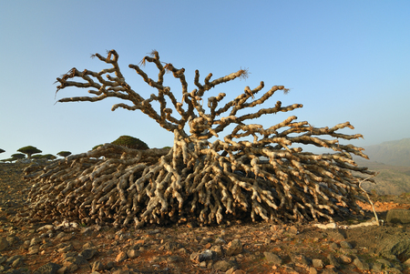 Dead trunk of the dragon blood tree on the plateau Dixam at sunset, Socotra island, Yemen