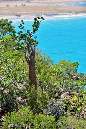 Indian ocean shore with flowering bottle tree and another endemic plants of Socotra Island. Yemen