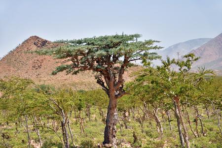 Frankincense Trees, Boswellia sacra, olibanum tree, Homhil Plateau, Socotra Island, Yemen Stock fotó