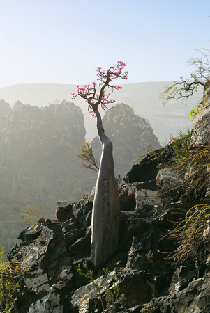 Flowering bottle tree is endemic tree adenium obesum of Socotra Island, Yemen Stok Fotoğraf