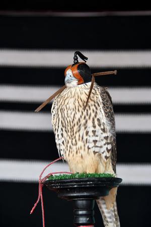 Arabian falcon in hood portrait. Hunting falcon. Falconry