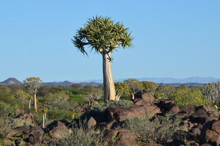 Magical Quiver Tree Forest outside of Keetmanshoop, Namibia
