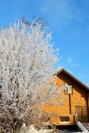 Winter morning in countryside, frozen rowan bush against a wooden cottage at sunrise. Flock of the bohemian waxwing (Bombycilla garrulus) birds sits on bush. Russia
