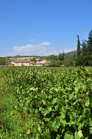 The endless vineyards in Nemea beautiful  land, one from famous wine producing region in Greece Фото со стока - 113614339