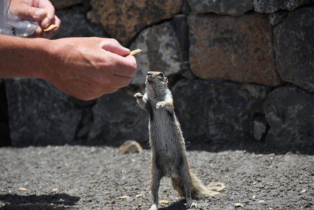 Atlantoxerus getulus. Barbary ground squirrel eating a piece of chips from the hand. It is the most famous animal on Fuerteventura, Canary Island. Spain Standard-Bild