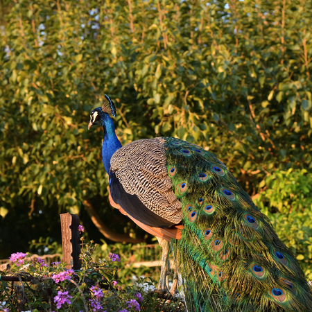 The Indian peafowl or blue peafowl shown at sunset. Pavo cristatus is a large and brightly coloured bird. Capernaum, Israel