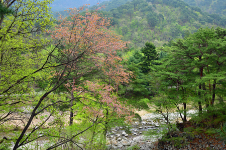 Countryside landscape, DPRK. Blooming trees on the  mountain slopes and mountain river