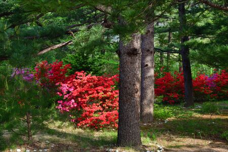 North Korea scenery. Woodland. Red korean pine trees in the Diamond mountains and bright blooming bush