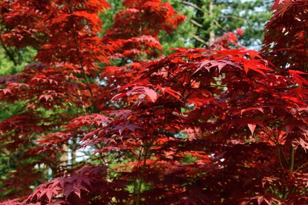 Beautiful leaves of a red Japanese maple or Acer japonicum at green background on a sunny day. Nature and botany. Natural background. Selective focus Stockfoto - 128403640