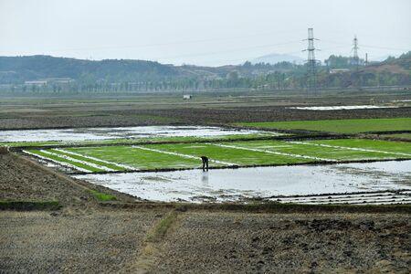 Rural scene. Peasant cultivates rice field at dawn