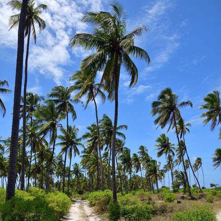 Dirt road between palm trees grove, Zanzibar island, Tanzania, Africa