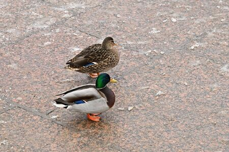 Mallard duck  couple, drake and female wild duck standing side by side on ice of frozen granite embankment