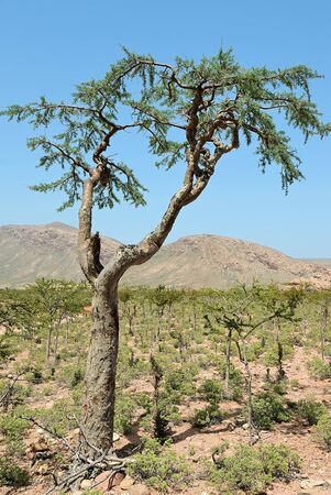 Socotra scenery. View on the Homhil plateau on Socotra island, Yemen. Frankincense tree against mountain