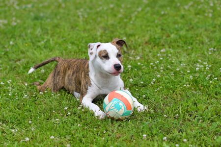 Dog lies on the grass with a ball in the summer garden. American staffordshire terrier outdoors, happy and healthy pets concept