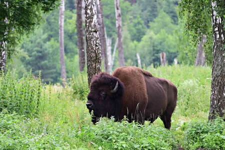 The American bison or simply bison (Bison bison), also commonly known as the American buffalo or simply buffalo grazing in the birch grove. Prioksko-Terrasny Nature Biosphere Reserve. Russia