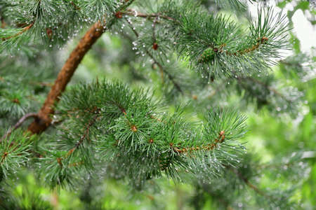Close-up pine tree needles with big shining water drops after summer rain. Morning dew on coniferous branch on green blurred background. Natural green background